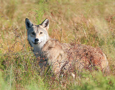 Florida Coyote In A Field Poster