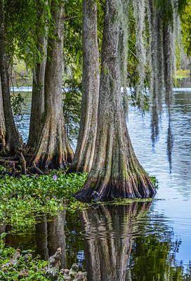 Florida Cypress Trees Poster by Carolyn Marshall