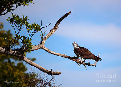 Florida Osprey Having Breakfast Poster by Michelle Wiarda