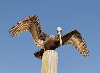 Florida Pelican Poster by Kim Hojnacki