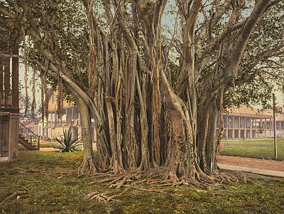 Florida Rubber Tree, C1900 Poster