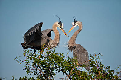 Florida, Venice, Great Blue Heron Poster