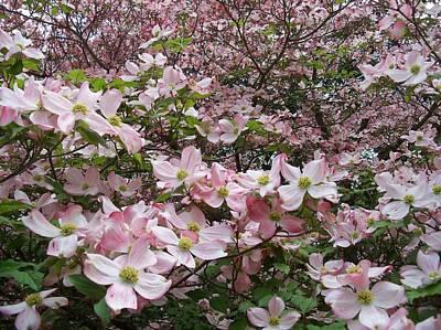 Flourishing Pink Magnolias Poster by Deborah Montana