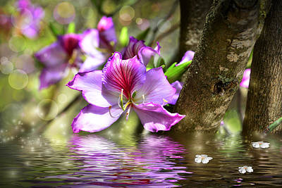 Flower Bauhinia And Simulation Of Water Poster