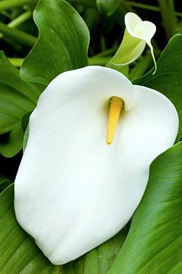Flower Of Zantedeschia Aethiopica Poster by Dr Jeremy Burgess