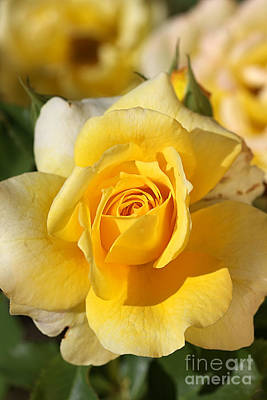 Flower-yellow Rose-delight Poster