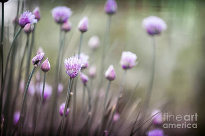 Flowering Chives II Poster