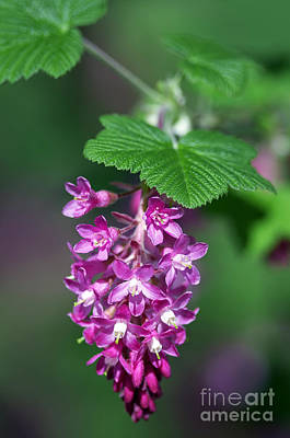 Flowering Currant Poster