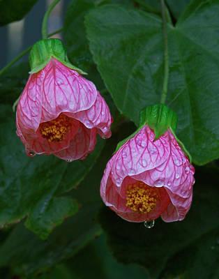 Flowering Maple Poster