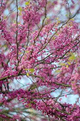 Poster featuring the photograph Flowering Redbud Tree by Suzanne Powers