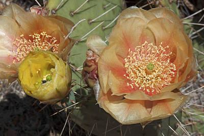 Flowering Prickly Pear Poster by Jennifer Nelson