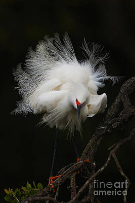 Fluffed Snowy Egret Poster