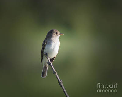 Poster featuring the photograph Flycatcher In Meditation by Anita Oakley