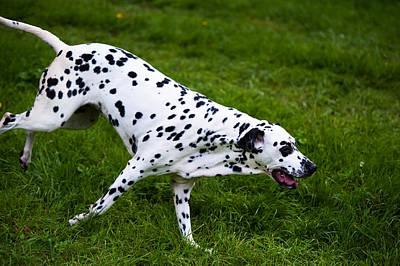 Flying Dog.  Kokkie. Dalmation Dog Poster by Jenny Rainbow