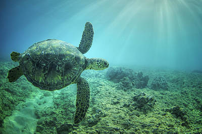 Flying Honu Poster by Hawaii  Fine Art Photography