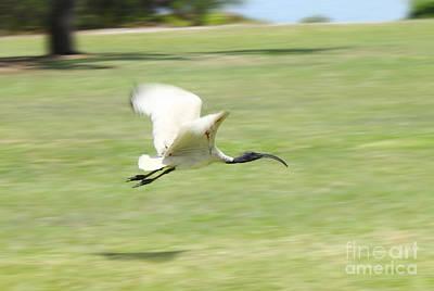 Flying Ibis Poster
