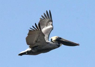 Flying Pelican Poster