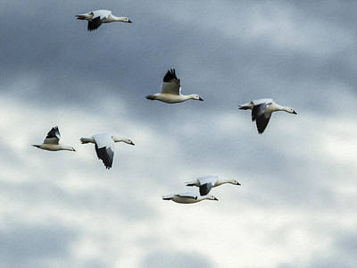 Flying Snow Geese Poster by Jean Noren