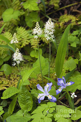 Foamflower And Crested Dwarf Iris - D008428 Poster by Daniel Dempster