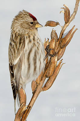 Poster featuring the photograph Foraging Redpoll by Stephen Flint
