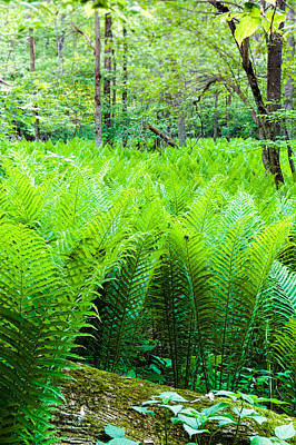 Poster featuring the photograph Forest Ferns   by Lars Lentz