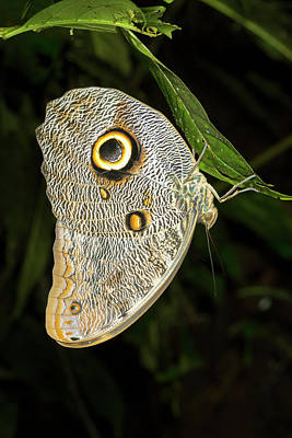 Forest Giant Owl Butterfly Poster
