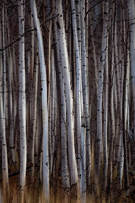 Forest Of Birch Trees  Alberta, Canada Poster by Ron Harris