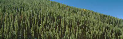 Forest Of Pine Trees, Colorado Poster by Panoramic Images