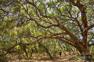 Forest Stroll - The Magical And Mysterious Trees Of The Los Osos Oak Reserve. Poster