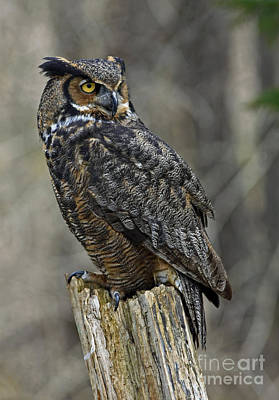 Forest Watch - Great Horned Owl  Poster