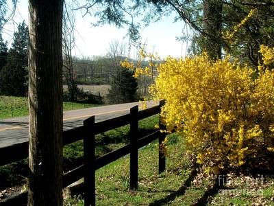 Forsythia Along The Highway Poster
