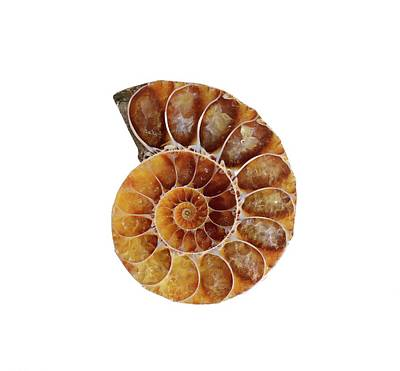 Fossil Ammonite Poster