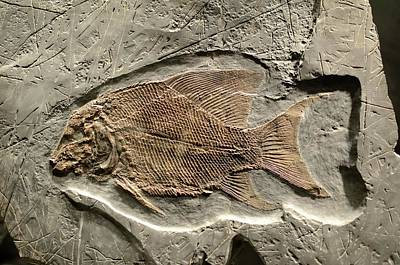 Fossil Fish Poster by Chris Hellier