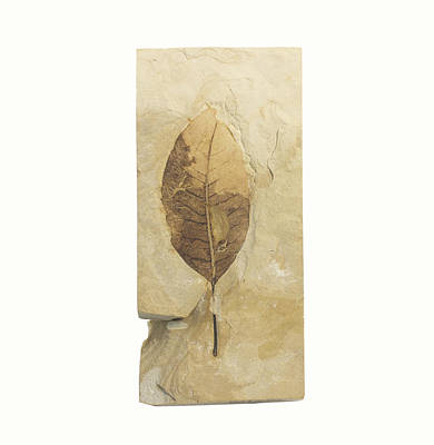 Fossil Leaf Poster by Science Stock Photography