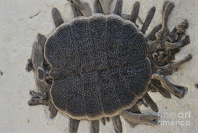 Fossil Soft-shelled Turtle Poster by John Cancalosi/Okapia
