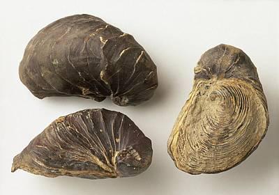 Fossilised Exogyra Africana Oyster Shells Poster by Dorling Kindersley/uig