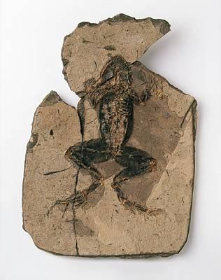 Fossilised Frog In Red Shale Poster by Dorling Kindersley/uig