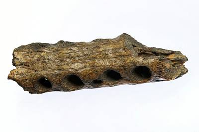 Fossilised Gharial Crocodile Snout Poster by Sinclair Stammers