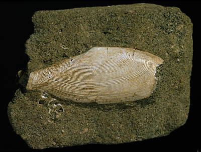 Fossilised Tellinella Rostralis Bivalve Poster by Natural History Museum, London