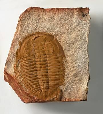 Fossilised Xystridura Trilobite Poster by Dorling Kindersley/uig