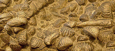 Fossilized Shells Poster