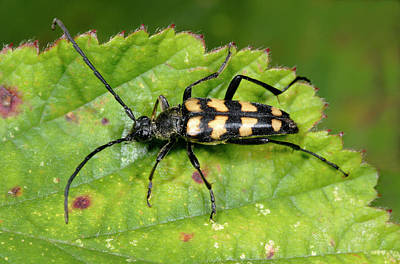 Four-banded Longhorn Beetle Poster by Nigel Downer