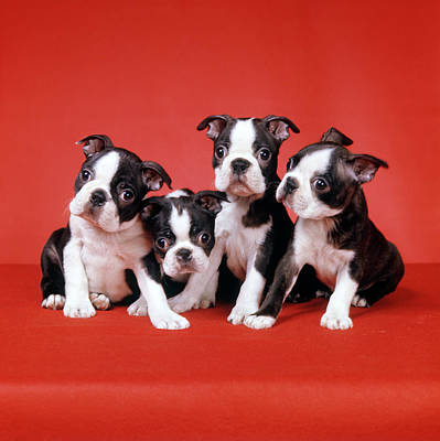 Four Boston Terrier Puppies On Red Poster