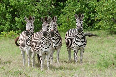 Four Burchell's Zebras On Alert Poster