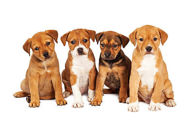 Four Cute Puppies Together Poster by Susan Schmitz