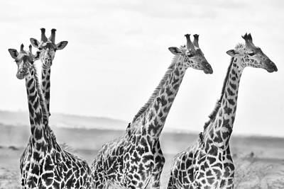 Four Giraffes Poster