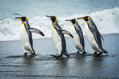 Four King Penguins  Aptenodytes Poster