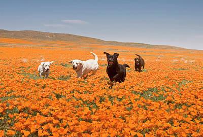 Four Labrador Retrievers Running Poster by Zandria Muench Beraldo
