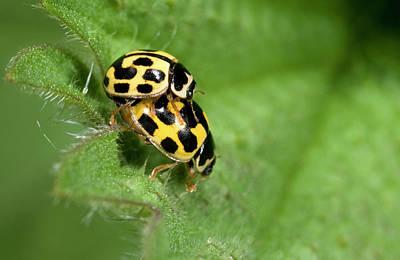 Fourteen-spot Ladybirds Poster
