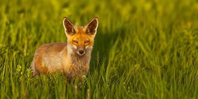 Fox In Grass  Poster
